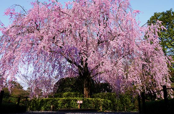 pic_beni-shidare-sakura