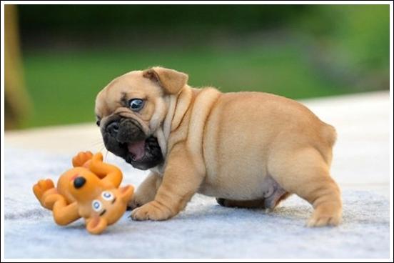 bulldog-puppy-cute-dog-photography-36__605_R